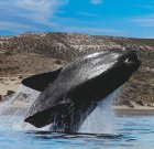 Argentina Holiday Humpback Whale